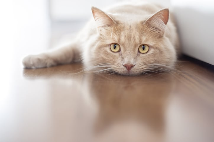 How Long Do Cats Live After Being Diagnosed With Cancer?