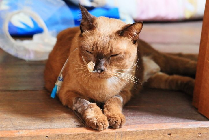 What Are The Signs Of Cancer In Cats?