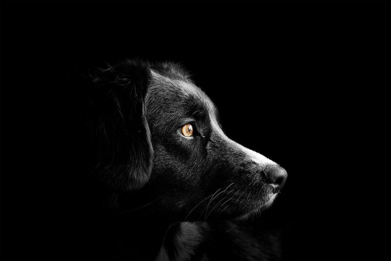 dog side profile dramatic dark